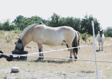cavalos se alimentando com conceito de proteína ideal
