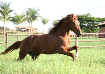 cavalo mangalarga no campo