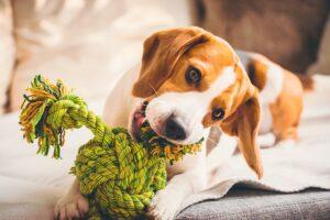 Cachorro beagle branco e marrom brincando de morder uma bola verde