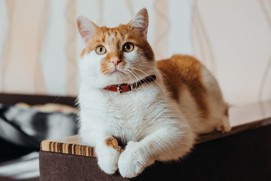 Gato branco com manchas caramelo