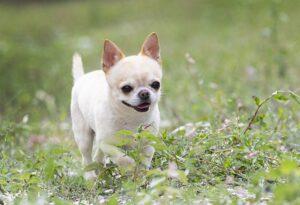 Pequeno cachorro chihuahua correndo na grama.