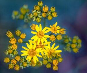 Flor das almas