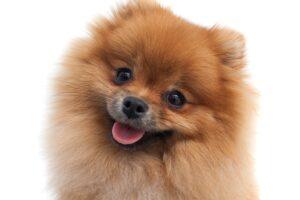 Pequeno cachorro Lulu da Pomerânia, mostrando a língua, em fundo branco.