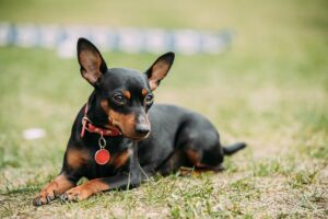 Pequeno cachorro pinscher deitado em gramado