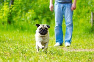 Pequeno cachorro da raça pug correndo em gramado