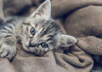 Gato doente, deitado em cobertas.