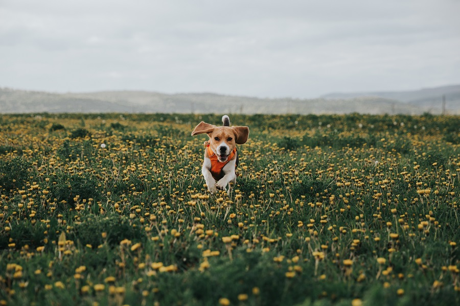 Cachorro correndo em campo de flores na primavera